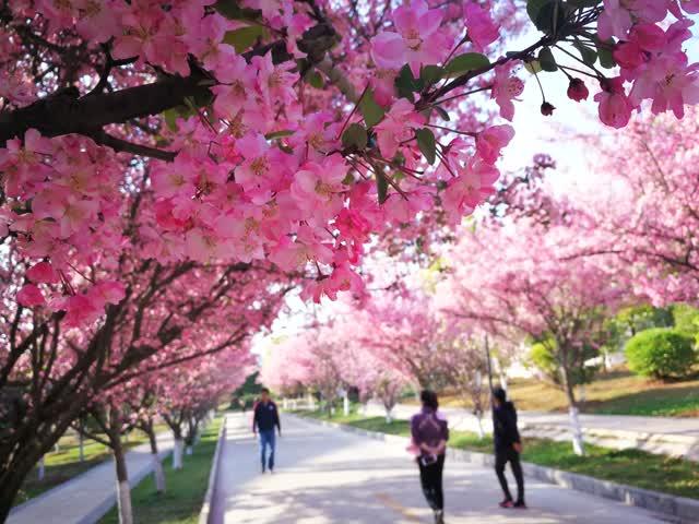 曲靖师院海棠纷飞、樱花正盛,汉服女生花中游走…