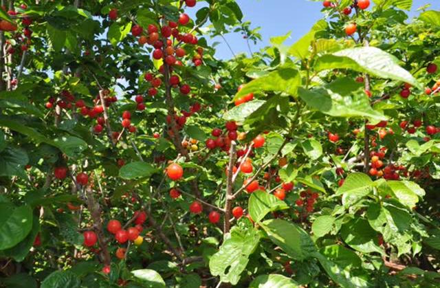 云南安宁上千亩樱桃成熟等你来摘,周末约起……