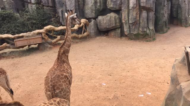 """""""土豪""""掷万金""""喂长颈鹿"""""""