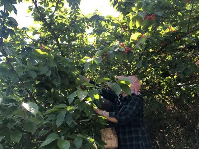 富民赤鹫3000亩樱桃挂果