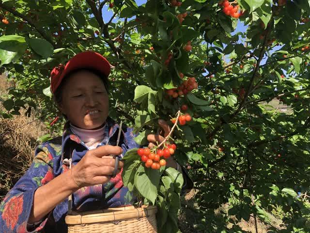 富民赤鹫3000亩樱桃挂果 (4)