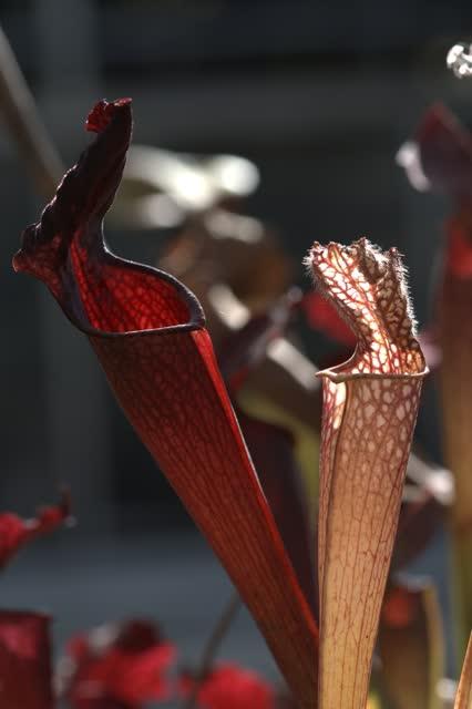 瓶子草(摄影:陈智发)