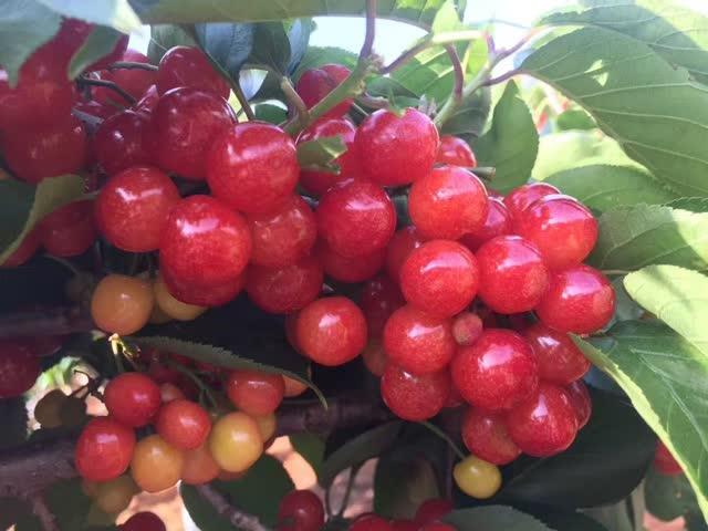玉溪的樱桃熟了,周末带娃浪起来!